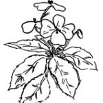 Clipart di pianta con tre fiori